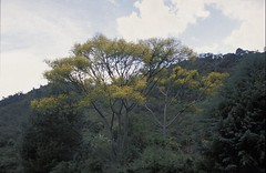 "Leg.-caesalp., SCHIZOLOBIUM PARAHYBA (Vell.) Blake  2 lionel • <a style=""font-size:0.8em;"" href=""http://www.flickr.com/photos/134534957@N02/23891363352/"" target=""_blank"">View on Flickr</a>"