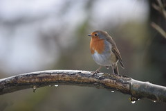 (LEALSWEE) Tags: rougegorge familier erithacus rubecula european robin muscicapids rotkehlchen petirrojo europeo pettirosso comune roodborst raindrops