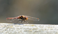 On The Gate! (RiverCrouchWalker) Tags: darter insect invertebrate onthegate perching marshfarmcountrypark marshfarm southwoodhamferrers essex
