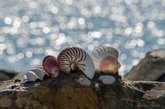 27 settembre 2016. Una giornata al mare... (adrianaaprati) Tags: mare sea shell conchiglia coquille schale bokeh mer meer calma allaperto sfocato blur