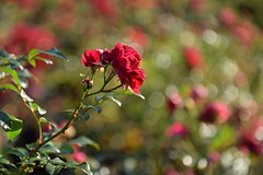 red roses (JoannaRB2009) Tags: red roses park nature closeup bokeh sunny d lodz polska poland autumn fall