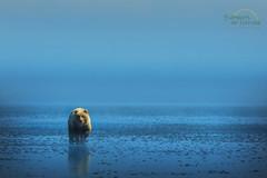 Infinity (Scott Joshua Dere) Tags: natgeo bear coastalbrownbear fog lowtide wilderness infinity wildamerica alaska
