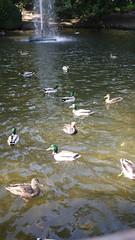 21-10-2016 010 (Jusotil_1943) Tags: 21102016 patos ducks agua water