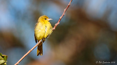 Orchard Oriole (Bob Gunderson) Tags: california fortmason icterusspurius northerncalifornia orchardoriole orioles sanfrancisco birds