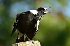 Magpie has a scratch (Luke6876) Tags: australianmagpie magpie butcherbird bird animal wildlife australianwildlife