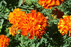 French marigold (Tagetes patula), in Staten Island, New York, USA. September, 2016 (Tom Turner - SeaTeamImages / AirTeamImages) Tags: red orange yellow petals marigold frenchmarigold tagetespatula nature tomturner statenisland newyork nyc bigapple unitedstates usa