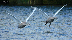 Formation Take Off (wok smuggler) Tags: formationtakeoff two pair cygnets swans birds young stover sigma150500 nikond7100 nikonnaturephotography outdoor water lake