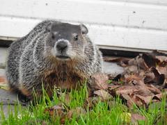 Chuck (John Rothwell) Tags: groundhog woodchuck yard grandrapids backyard michigan city urban nature birds animals riverside