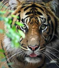 Eye contact (Howard Ferrier) Tags: oceania chordate victoria melbournezoo vertebrate melbourne tiger mammal australia parkville greatermelbourne zoo feline sumatrantiger