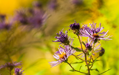 _DSC3783_Fall asters (noel_upfield1) Tags: aster blue caledontrailway caledonon colours fall fallcolours lateday lavender light nature places season