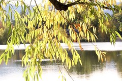 A place to dream (Inside & Out Photography) Tags: a place dream peaceful by lake late autumn colorado water blue green tree leaf leav sun sunshine color fortcollinsco yellow transparent fall branch an co