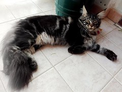 maine coon brown tabby 6 months (romeosilverpersian) Tags: mainecoon mainecoons coonie kittens kitten pet pets animali animalidomestici catbreeds purebredcats cats baloo browntabby tabbycats