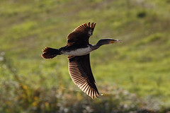 _F0A9200.jpg (Kico Lopez) Tags: cormorngrande galicia lugo mio phalacrocoraxcarbo spain aves birds rio cormorngrande mio
