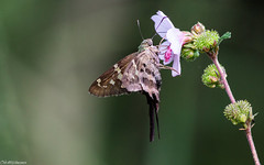 Long-tailed Skipper (sciencensorcery) Tags: nature insects butterflies longtailedskippers animals longtailedskipper urbanusproteus urbanus pyrginae hesperiidae bmna butterfly midsize brown october fl skippers