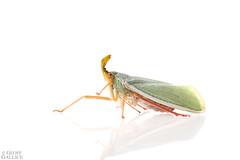 Lantern bug (ggallice) Tags: lanternbug fulgoridae insect amazonrainforest rainforest entomology losamigosbiologicalstation madrededios peru amazon southamerica