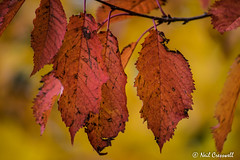 295/366 Seasonal colours (crezzy1976) Tags: nikon d3300 crezzy1976 photographybyneilcresswell photoaday outdoors seasons colours autumn leaves 365 366challenge2016 day295 colourful
