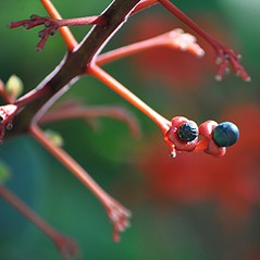 Exotic Glorybower... blue berries on red stems and cups (jungle mama) Tags: glorybower berries tropicalshrub red blue clerodendrumsplendens
