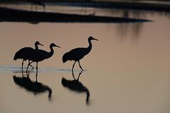 Three Cranes-49153.jpg (Mully410 * Images) Tags: burnettcounty birdwatching birding crexmeadowsstatewildlifearea sandhillcranes crane crexmeadows birds bird morning reflections silhouette sunrise wisconsin