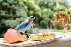 Sunday (Bird)Brunch (FernandoRueda) Tags: azulejo birds 7dwf aves bleu azul blue blur nature bird