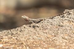 Agama (Asa-Photography) Tags: canon 7dmk2 7dmarkii 7dmkii 7dii tamron 150600mm g2 telephoto wildlife nature agama