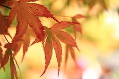 IMG_7787 (ciounanpan) Tags: 楓葉 福壽山農場 台中 梨山 參山國家風景區 秋天 逆光 溪瀑 台8線 中橫 楓之谷 楓紅 槭