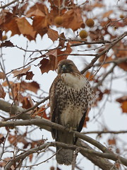 """You See Me Not?"" (tourtrophy) Tags: hawk raptor redtailedhawk birdofprey predator tree perch canoneos7dmark2 canonef100400mmf4556lisusm alviso goldstreet"