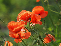 Maki popy-flower popy Klatschmohn Papaver-rhoeas Mohnblume Klatschrose (arjuna_zbycho) Tags: mak maki makpolny czerwonemaki kwiatypolne mohn mohnblumen coquelicots pavots popyflower popy klatschmohn papaverrhoeas mohnblume klatschrose cornpoppy cornrose fieldpoppy flanderspoppy redpoppy redweed közönségespipacs vetésipipacs papaverocomune rosolaccio gatunekleczniczy heilpflanze hausmittel kwiat blume flower fleur popies fleurs natur flora