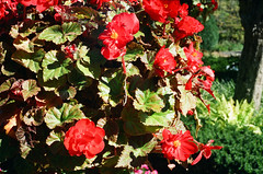 1609_YashE35GT_014.jpg (OldChE) Tags: activity cantigny coloryashinondx45f17 film flowers kodakgold200 museums places yashicaelectro35gt