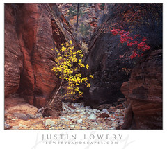 Autumn's Embrace (Justin Lowery) Tags: intrepid film analog velvia zion zionnationalpark fall autumn leaves red yellow maple cottonwood largeformat viewcamera fieldcamera 4x5 scan epson v700