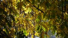 Autumn 2016 (Pierre Pattipeilohy) Tags: wing wingnut tree baume bohm larbe yellow gelb geel kuning vleugelnootboom wingnuttree closeup herbst herfst otono pierrepattipeilohy outside trees leaves bladeren blatter
