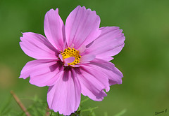 Weekend Flower (Eleanor (No multiple invites please)) Tags: cosmos pinkflower busheyrosegarden bushey uk nikond7100 august2016