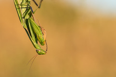 """Hummm let me think...."" (regisfiacre) Tags: mante religieuse mantis religiosa praying insecte insect bugs macro canon 100mm nature prairie meadow france moselle vert green let me think"