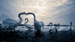 fighting for love (Bhalalhaika) Tags: swan love fight kiss animal bird ocean sea beach nature norway oslo