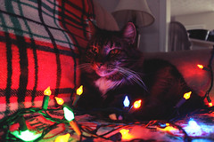 Goat Muffin (kmaddoxreksten) Tags: cats cat catphotography catphoto colourphotography color photo brightlights brightphotography christmas christmaslights christmastree christmascats kittens tabby mainecoon fluffy persian