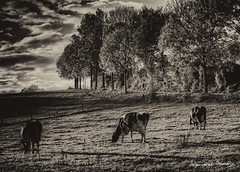 Herfst op de Fromberg (Adrianusz) Tags: cyclocross adrianus adrianusz arjan adrianuz arjanvandenoudenrijn oudenrijn fromberg herfst autumn zuidlimburg zuid limburg sky blackandwhite black white landscape cycling cow cows