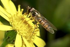 Epissyrphus balteatus (Diptères - Syrphidae) (Loup-Blanc) Tags: episyrphusbalteatus marmaladehoverfly syrpheceinturé syrphidae diptère insecte