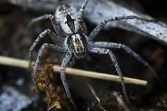 macrospider (Heralth) Tags: araa spider negro black contraste contrast wildlife vidasalvaje macro macrofotografia naturaleza nature light luz closeup aumento macrophotography invertebrado invertebrate invertido 50mm