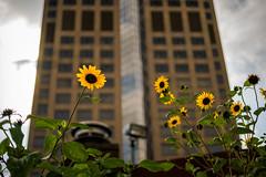 (Clint Everett) Tags: autumn fall city urban color sony zeiss sourceclinteverett street streetphotography sunflower