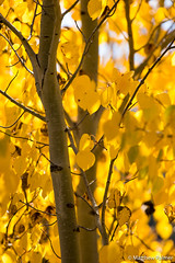 Autumn Leaves (matthewpalmer.photo) Tags: aspen grandtetonnationalpark trees