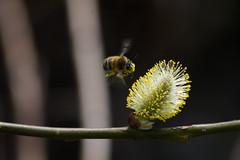 ckuchem-2164 (christine_kuchem) Tags: bienen frhblher frhjahr frhling garten hummel insekten nahrung nektar pollen wald weide weidenktzchen gelb