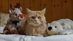 Linus and friends (FocusPocus Photography) Tags: linus rudi anton reindeer polarbear christmas katze kater cat chat gato tier animal haustier pet