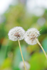 (aelx911) Tags: a7 a7markii a7ii a7m2 sony gmaster fe2470mmf28gm fe2470 nature macro landscape flower seed dandelion taiwan kaohsiung