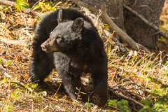 Eyes right (ChicagoBob46) Tags: blackbear bear cub yellowstone yellowstonenationalpark nature wildlife