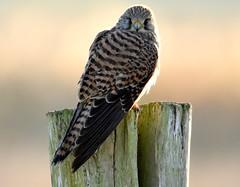 Kestrel at sunrise. (pstone646) Tags: kestrel bird nature wildlife animal kent fauna raptor elmley birdofprey closeup