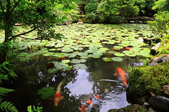 Koi's pond (Davide C.77) Tags: asia giappone japan pond lake park koi fish red colorful water
