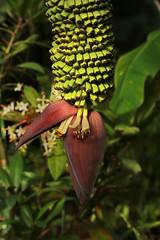 Musa chiliocarpa   (ashitaka-f studio k2) Tags: flower yellow green red musa chiliocarpa   musaceae