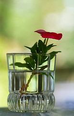 Everything needs water (judith511) Tags: odc glassofwater flower vinca