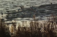 RSPB Rainham Marshes (philm54) Tags: river foreshore gulls