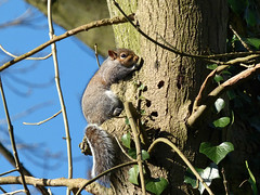 Squirrel (Peanut1371) Tags: squirrel mammal tail tree nationalgeographicwildlife