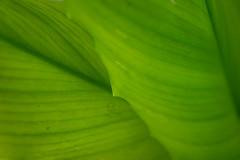 Green is beautiful (bhaskar samanta) Tags: nikon nikkor nikond3300 nature nikonindia naturephotography india bengal 1855mm 1855 d3300 green leaf leaves westbengal wide lightroom lines wallpaper iamnikon kitlense kolkata beautiful beauty rooftopgarden